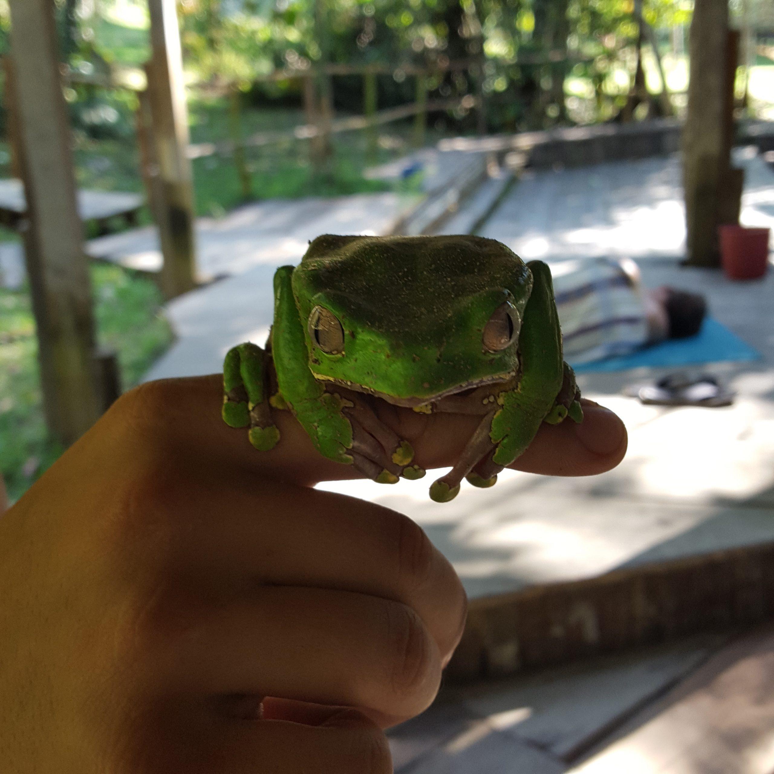 kambo frog medicine